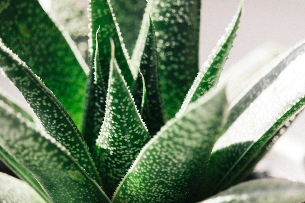 aloe-vera-for-glowing-skin